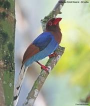 Urocissa_ornata003.Sinharaja_Forest_Reserve.Sri_Lanka.27.11.2018