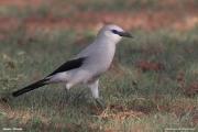 Zavattariornis_stresemanni006.Okolica_Yabelo.18.11.2009