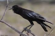 Corvus_capensis003.Etosha_N.P.Namibia.20.02.2014