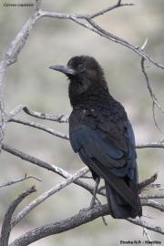 Corvus_capensis004.Etosha_N.P.Namibia.20.02.2014