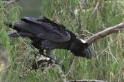 Corvus_crassirostris002.Bale_Mt.N.P.Etiopia.14.11.2009