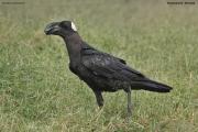 Corvus_crassirostris008.Shashemene.Etiopia.13.11.2009