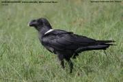 Corvus_albicollis001.Ngorongoro.Tanzania.23.03.2013