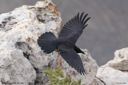 Corvus_corax021.Grand_Canyon_N.P.USA.MJ.29.03.2013