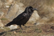 Corvus_corax024.Buseu.Spain.MJ.22.02.2018