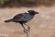 Corvus_albus003.Wybrzeze.Gambia.22.01.2009