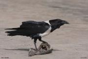 Corvus_albus011.Wybrzeze.Gambia.22.01.2009
