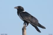 Corvus_albus013.Awash.N.P.Etiopia.23.11.2009