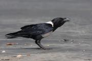 Corvus_albus007.Wybrzeze.Gambia.22.01.2009
