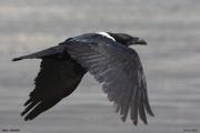 Corvus_albus012.Wybrzeze.Gambia.22.01.2009