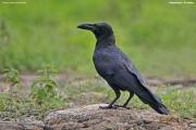 Corvus-macrorhynchos008.Udawalawe.Sri-Lanka.28.11.2018