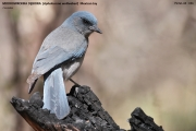 160.106.Aphelocoma_wollweberi001.Portal.Arizona.USA.MJ.26.03.2013