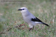 160.31.Zavattariornis_stresemanni001.PJ.Yabelo.20.11.2009