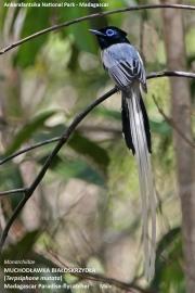 161.091.Terpsiphone_mutata001.Male.Ankarafantsika_N.P.AJ.Madagaskar.23.10.2018