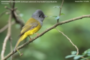 173.003.Culicicapa_ceylonensis001.Nuwara_Eliya.Sri_Lanka.4.12.2018