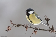 Parus_major014.Janowek.MJ.23.02.2013