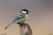 Parus_major017.Janowek.PJ.6.01.2014