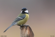 Parus_major018.Janowek.PJ.6.01.2014