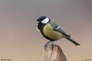 Parus_major019.Janowek.PJ.6.01.2014