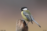 Parus_major020.Janowek.PJ.6.01.2014