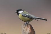 Parus_major021.Janowek.PJ.6.01.2014