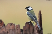 Parus_major022.Janowek.PJ.6.01.2014
