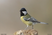 Parus_major024.Janowek.MJ.25.03.2017