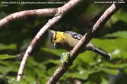 174.045.Machlolophus_spilonotus001.Thailand.28.03.2008