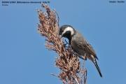174.059.Melaniparus_cinerascens001.Gobabis.Namibia.3.03.2014