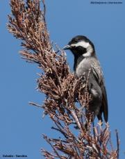 Melaniparus_cinerascens002.Gobabis.Namibia.3.03.2014