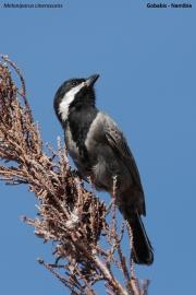 Melaniparus_cinerascens003.Gobabis.Namibia.3.03.2014