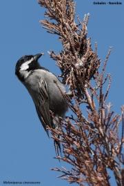 Melaniparus_cinerascens004.Gobabis.Namibia.3.03.2014