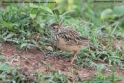 176.056.Mirafra affinis001.Udawalawe NP.Sri Lanka.28.11.2018