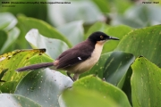 182.Donacobius_atricapilla01.Pantanal.Brazylia.12.11.2013