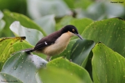 Donacobius_atricapilla02.Pantanal.Brazylia.12.11.2013