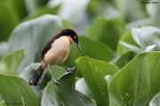 Donacobius_atricapilla03.Pantanal.Brazylia.12.11.2013
