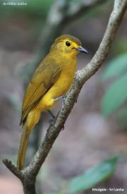 Acritillas_indica003.Kitulgala.Sri_Lanka.7.12.2018