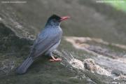 Hypsipetes_leucocephalus_humii006.Sinharaja_Forest_Reserve.Sri_Lanka.27.11.2018