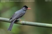 191.086.01.Hypsipetes_leucocephalus_humii001.Kitulgala.Sri_Lanka.7.12.2018