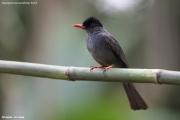 Hypsipetes_leucocephalus_humii002.Kitulgala.Sri_Lanka.7.12.2018