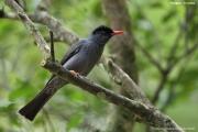 Hypsipetes_leucocephalus_humii005.Kitulgala.Sri_Lanka.7.12.2018