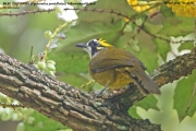191.103.Pycnonotus_penicillatus001.Nuwara_Eliya.Sri_Lanka.5.12.2018