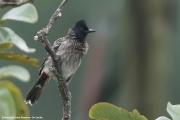 Pycnonotus_cafer002.Sinharaja.Sri_Lanka.26.11.2018