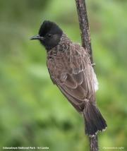 Pycnonotus_cafer003.Udawalawe_NP.Sri_Lanka.28.11.2018