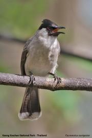 Pycnonotus_aurigaster002.Baan_Song_Nok.Kaeng_Keachan_N.P.Thailand.MJ.13.11.2012