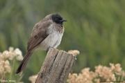 Pycnonotus_barbatus002.Lalibela.Etiopia.26.11.2009