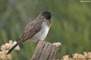 Pycnonotus_barbatus003.Lalibela.Etiopia.26.11.2009