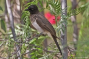 Pycnonotus_barbatus004.Langano.Etiopia.21.11.2009