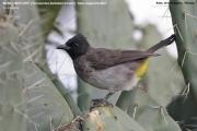 191.116.03.Pycnonotus_b._tricolor001.Robe_Goba.Bale_Mt.Etiopia.14.11.2009