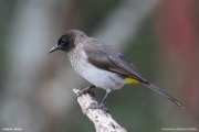 Pycnonotus_b._tricolor007.Mpala_R.C.Kenia.4.12.2014